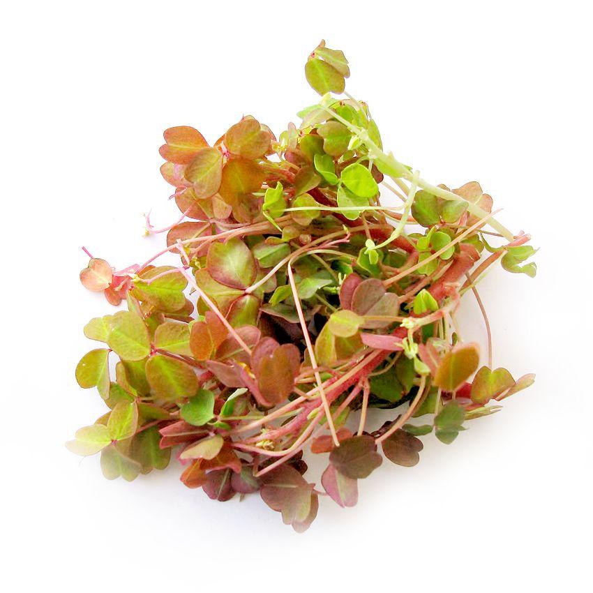 Oksalis brązowy - Zioła cięte, warzywa, grzyby, owoce egzotyczne i przyprawy Freshmint Łódź